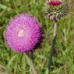 muskthistleflower321